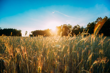 Summer Sun Shining Over Agricultural Landscape Of Green Wheat Field