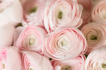 Persian buttercup. Bunch pale pink ranunculus flowers light background. Wallpaper, Horizontal photo