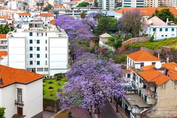 マデイラ島ジャカランダの花