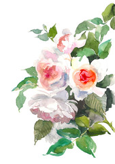 Garden roses flower. Watercolor floral illustration. Floral decorative element. Floral background.