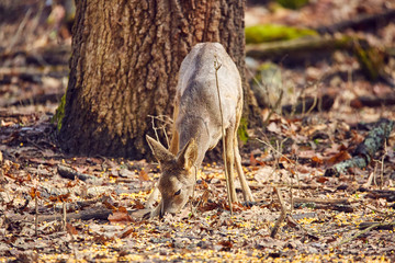 Roe buck in the forest