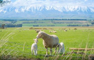 Sheep farming in south island of New Zealand.