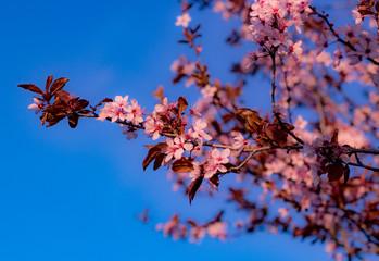 Sakura Cherry Blossom Blue Sky