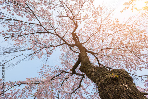 Wall mural Cherry blossom tree in spring for background or copy space for text