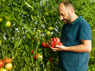 Friendly man harvesting fresh tomatoes from the greenhouse