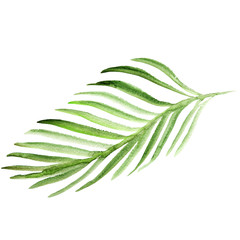Watercolor palm tree leaf. Green frond illustration isolated on white background.