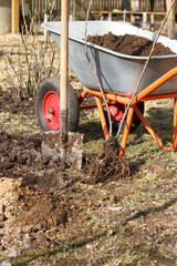 planting and fertilizing fruit crops/ new bush of red currant against background of shovels and a garden trolley with humus
