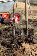 spring work in the future garden/ branches of currant with roots in the hand of the gardener during planting in the soil