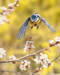 Blaumeise fliegt zu einem blühenden Zweig einer Blutpflaume, um einen großen Wollschweber zu fangen, der in der Obstblüte Nektar sucht