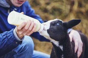 Feeding small lamb
