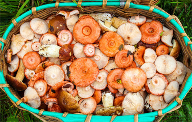 Basket with russule mushromms top view