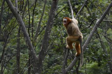 Golden Snub-nosed Monkey climbing in trees