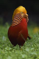 Golden pheasant vertical portrait