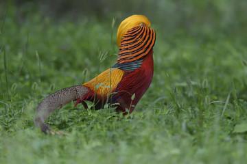 Male golden pheasant