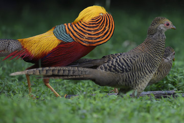 Golden pheasant display