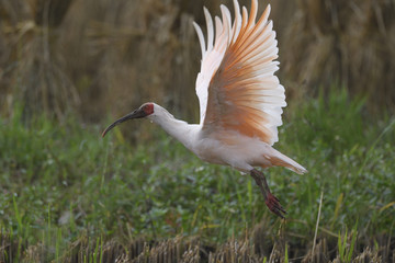 Crested Ibis flying away