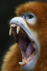 Screaming Golden Snub-nosed Monkey in China