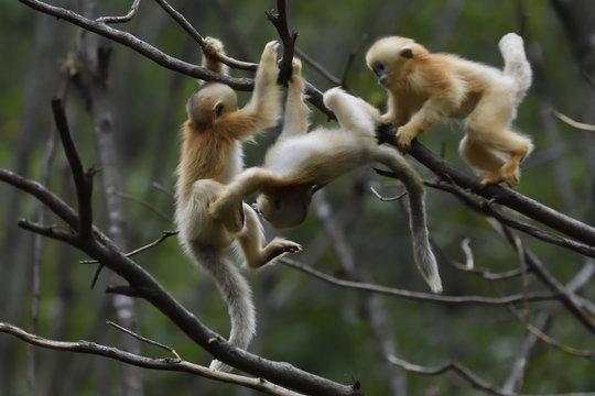 Baby Golden Snub-nosed monkeys playing