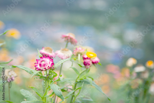 Image of colorful paper daisy or straw flowers is grown in the north image of colorful paper daisy or straw flowers is grown in the north of thailand on mightylinksfo