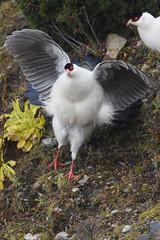 White Eared Pheasant lifting wings