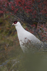 White Eared Pheasant and vegetation in autumn colours