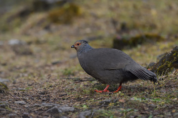 Female Blood pheasant on the ground