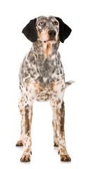 Stehender Mischlingshund isoliert auf weißem Grund