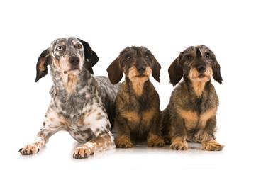 Drei Hunde isoliert auf weißem Grund