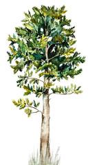Korean cedar. Watercolor