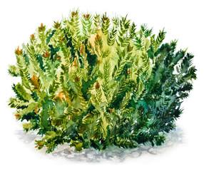 Dwarf stone pine (Pinus pumila). Watercolor