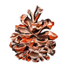 Chilgoza pine cone. Watercolor