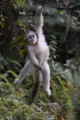 Young Yunnan or Black Snub-nosed monkey hanging in a tree