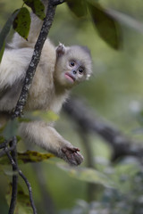 Young Yunnan or Black Snub-nosed monkey in a tree