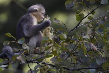 Young Yunnan or Black Snub-nosed monkey feeding