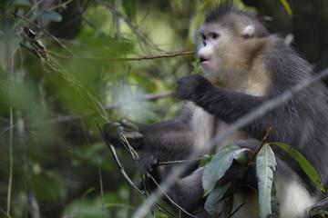 Yunnan or Black Snub-nosed monkey feeding in a tree