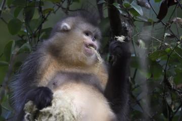 Yunnan or Black Snub-nosed monkey feeding