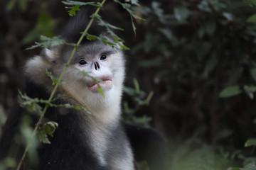 Yunnan or Black Snub-nosed monkey portrait