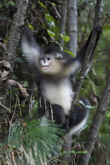 Yunnan or Black Snub-nosed monkey sitting in a tree