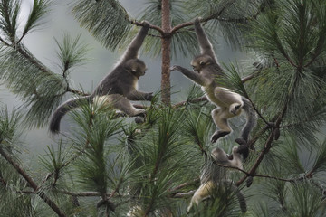 Yunnan or Black Snub-nosed monkeys playing in a tree