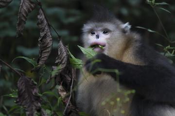 Yunnan or Black Snub-nosed monkey eating leaves