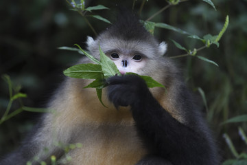 Yunnan or Black Snub-nosed monkey eating leaves