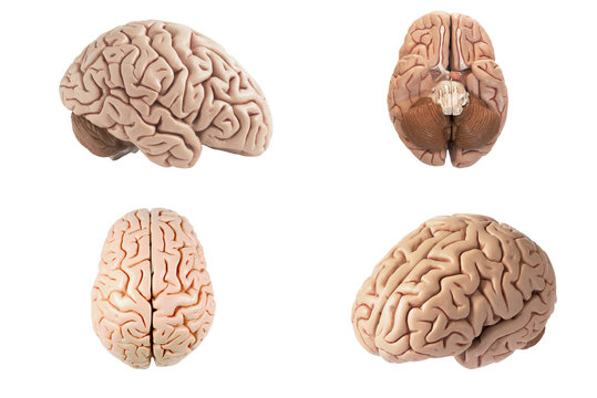 Artificial human brain model in different view