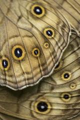 Moth wings detail