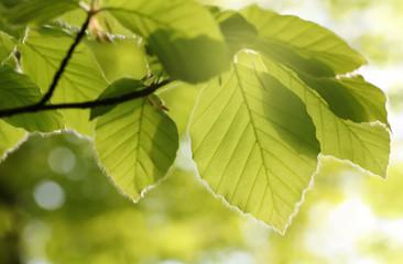 Beech leaves in the spring sun, Lüneburg Heath, Germany. Backlit photograph
