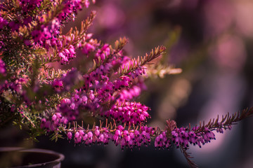 Sweet lilac heather flowers in the garden. Very soft selective focus.