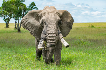 Very old African Bull Elephant