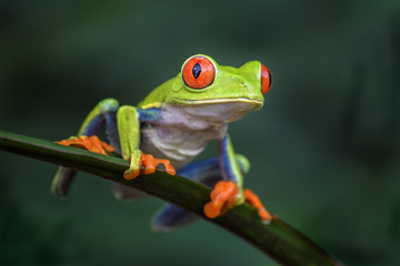 Foto op Aluminium Kikker Red-eyed Tree Frog - Agalychnis callidryas, beautiful colorful from iconic to Central America forests, Costa Rica.
