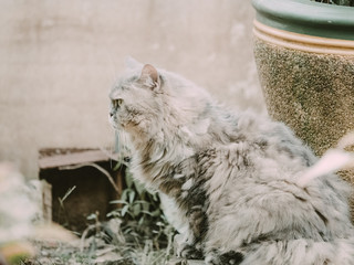 side view from beauty gray persian cat with long hair sit in garden with soft focus background