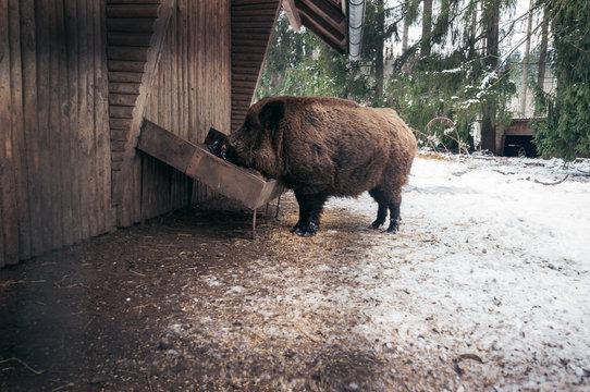 Wildschwein beim essen