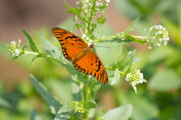 Close up of an orange butterfly resting on a flower